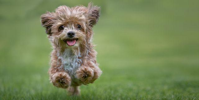 10 Ras Anjing Terbaik yang Bulunya Tidak Mudah Rontok