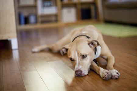 Beberapa Hal Penyebab Anjing Anda Menjadi Depresi