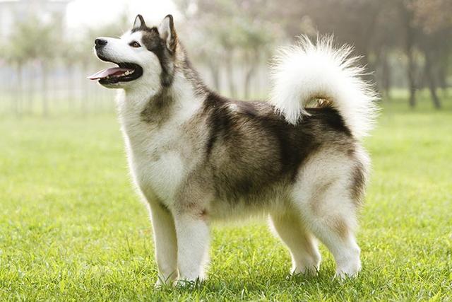 Beberapa Ras Anjing Terbaik Yang Ada di Alaska