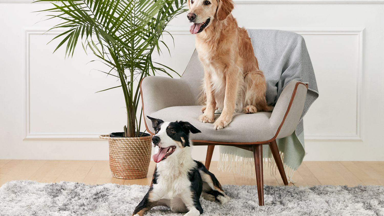 Cara Melatih Anjing Anda untuk Hidup Bersama Anjing Lain